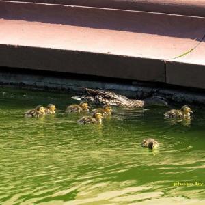 ショパン像前の池にカモの雛が8羽