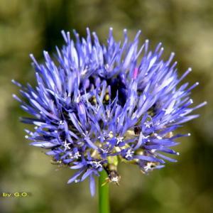 青紫の夏の花チャイブが咲き始めた
