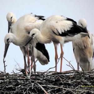 ワルシャワの4羽のコウノトリ雛達