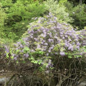 満開の藤(フジ)の花と渓流の音に癒される