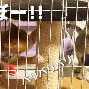 【動画】少しずつ警戒心が薄れてきている保護子猫たち