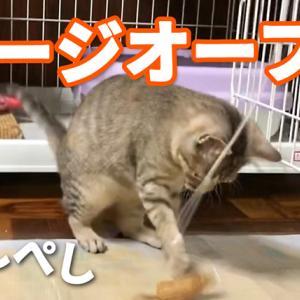 【動画】保護した子猫たちのケージを開けて遊んでみた