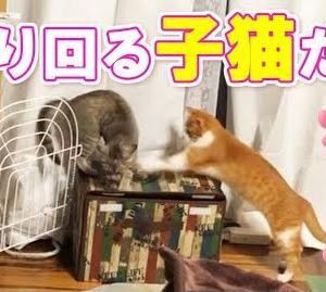 【動画】保護子猫たちをケージから完全に出すことにします