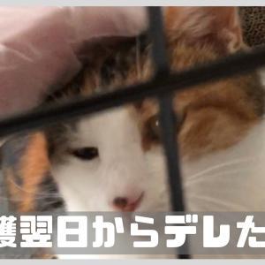 【保護猫】三毛さんの家猫修行①