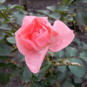 秋薔薇(その3)
