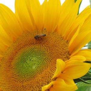 今日は父の日&ヒマワリと蜂