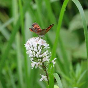 今日は真珠記念日&オカトラノオに蝶たち