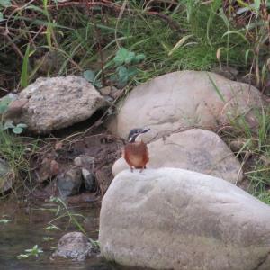 カワセミの若鳥