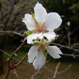 今日は主婦休みの日&控えめな10月桜