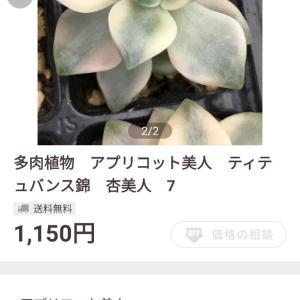 フリマサイト『ペイペイフリマ』で多肉植物を買ってみました!『ティテュバンス錦』