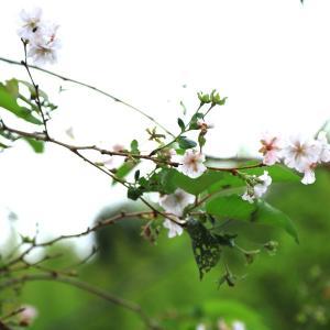 【 エ~ッ!9月に桜と紫陽花!? 】