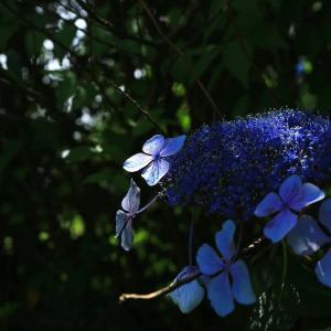 【 紫陽花と陽光 】