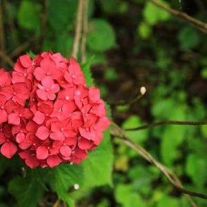 【 カラフルな紫陽花 】
