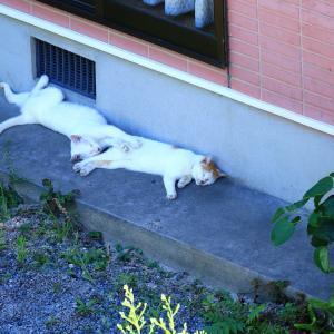【 暑さに、ネコもノックダウン! 】