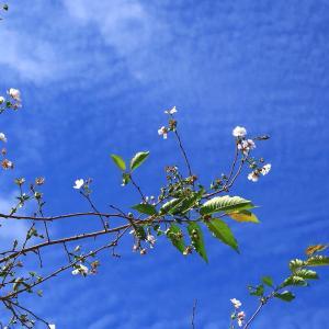 【 9月に咲くサクラとアジサイ 】