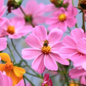 【 コスモスとミツバチ 】