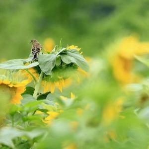 【 ヒマワリ畑の訪問者 】