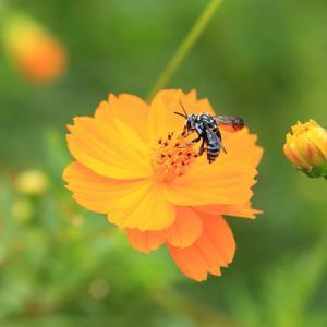 「 遂に、幸せの青い蜂を撮った! 】