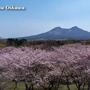 【北海道の桜風景】森町・オニウシ公園の桜(2019年撮影)