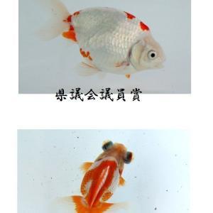 第49回 静岡県金魚品評大会 総合優勝 当歳の部