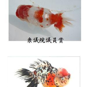 第49回 静岡県金魚品評大会 総合優勝 親魚の部
