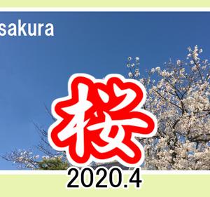 sakura  桜の開花