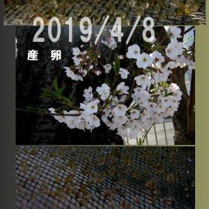 らんちゅう2019/4/8産卵