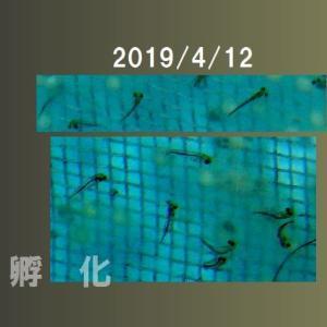 らんちゅう 4月8日産卵の卵 孵化が始まった