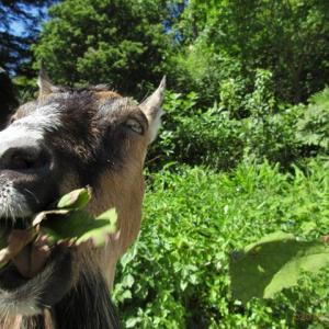 ヤギが食べる草のリスト