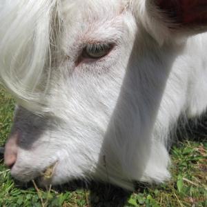 ヤギ除草のための環境整備