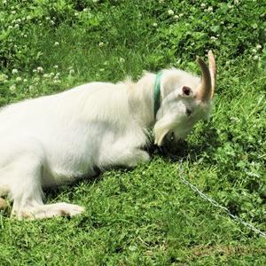 ヤギ除草のビフォーアフター