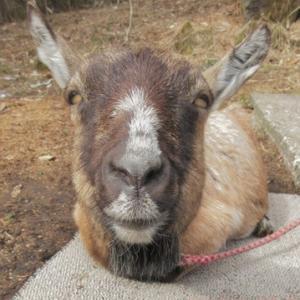 香箱座りするヤギ