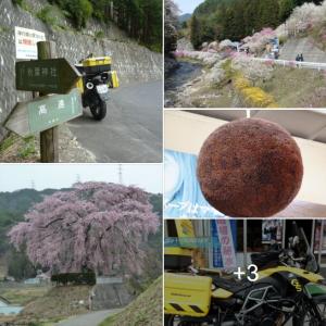観に行きたかったなぁ・けど入場禁止 天下第一の桜『高遠城址』と ご近所 花見所 🌸