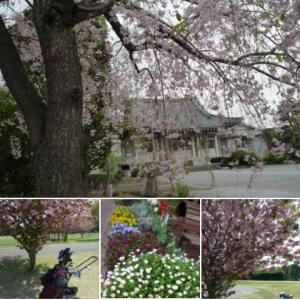 桜も終わりですねぇ・・と 思ったら・・シッカリ八重桜が、 🌸