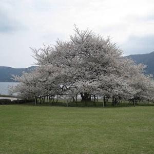 箱根園の大島桜♪ 箱根 自然薯の森 山薬