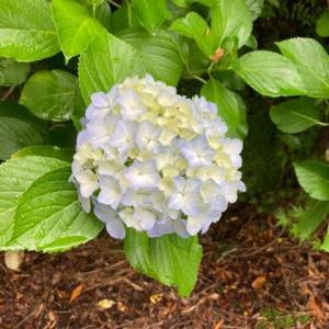 箱根宮ノ下の紫陽花 箱根 自然薯の森 山薬