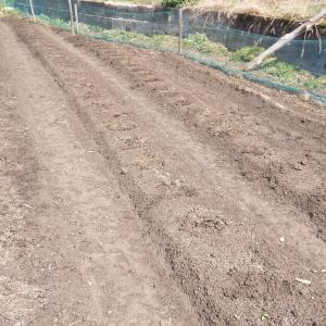 ジャガイモ種芋植え