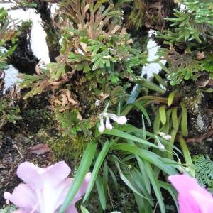 開花間近のウチョウラン