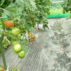 トマトの様子2021.7.8