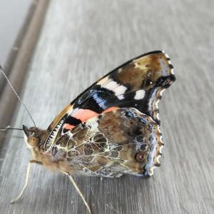 庭で見つけた蝶2021.9.6