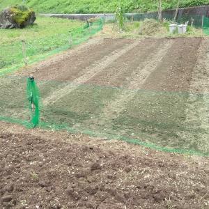 ニンニクの種球植え完了!