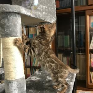 ベンガル猫、クマがお家にやって来た!