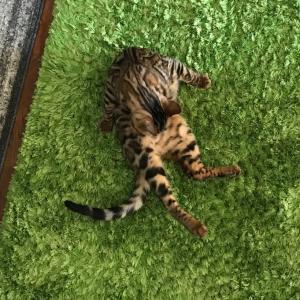 ベンガル猫、クマの通院。