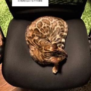 人の椅子は猫の優先席。