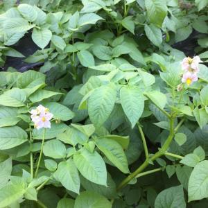 馬鈴薯の花の咲く頃
