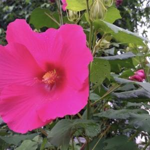 芙蓉の咲く頃