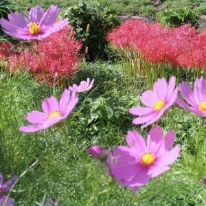 彼岸花から秋桜へ