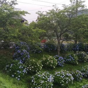 紫陽花と葉桜
