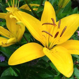 黄色いスカシユリの咲く頃