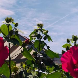 芙蓉の花の咲く頃